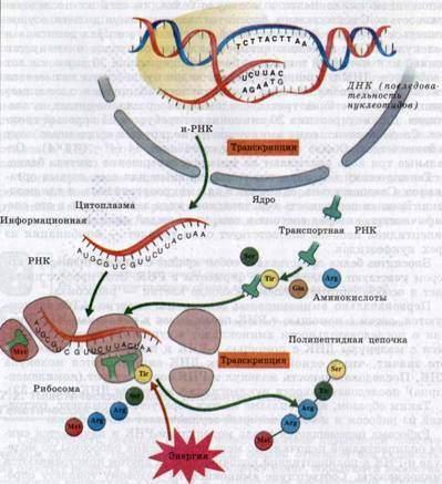 Схема биосинтеза белка.