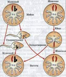 Схема восстановления диплоидного