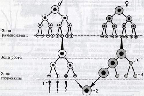 Яйцеклетка схема строения