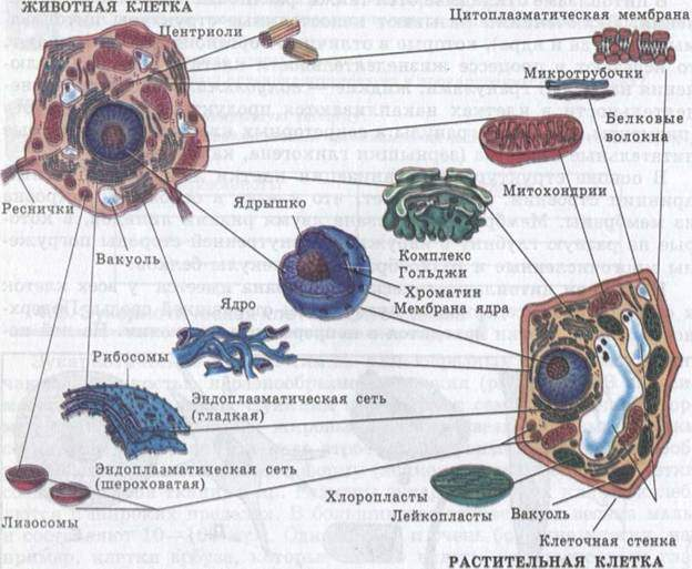 Схема строения животной и