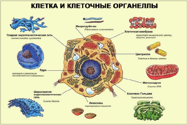 Органоиды клетки и их строение
