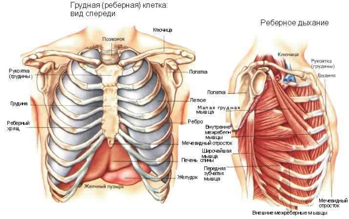 Строение грудной клетки человека.
